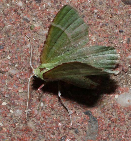 Emerald Moth with red anterior wing edge - Dichordophora phoenix