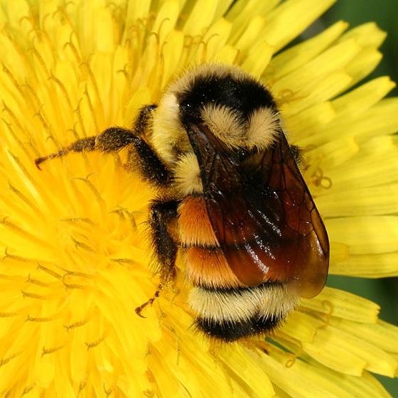 Bumble Bee - Bombus ternarius