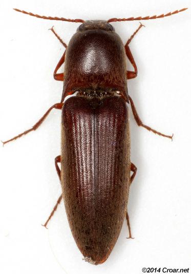 Diplostethus carolinensis