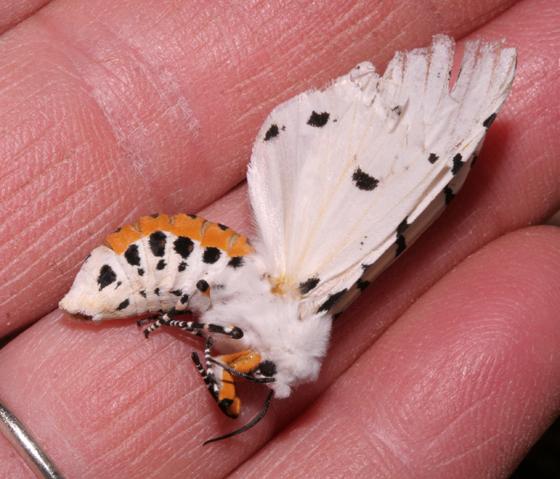 Erebidae, Salt Marsh Moth, more color - Estigmene acrea