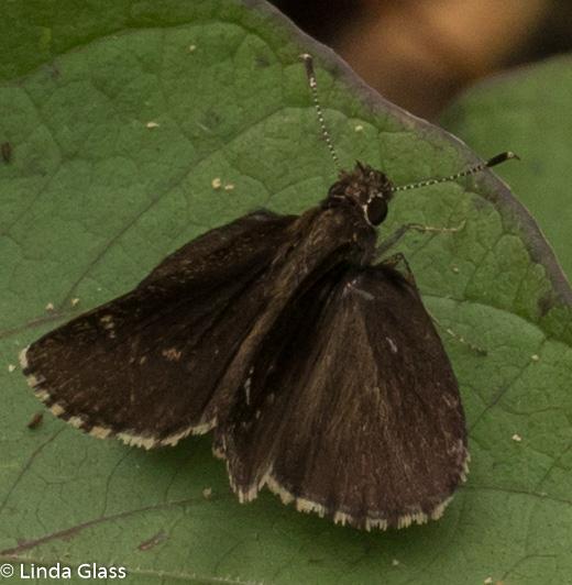 unknown dark skipper - Amblyscirtes belli