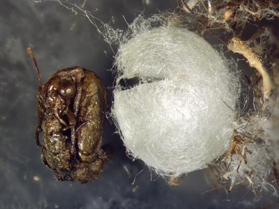 Green lacewing cocoon - Chrysoperla plorabunda
