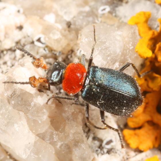 Collops - Collops tricolor - female
