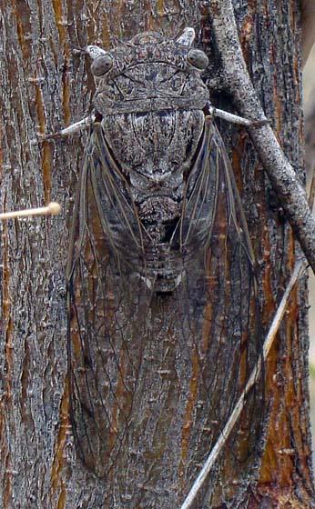 Arizona Cicada - Diceroprocta knighti