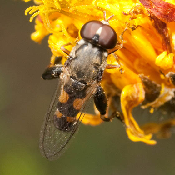 Syrphidae ? - Syritta pipiens - male