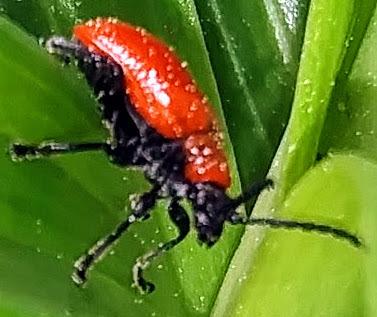 Lily Leaf Beetle? - Lilioceris lilii