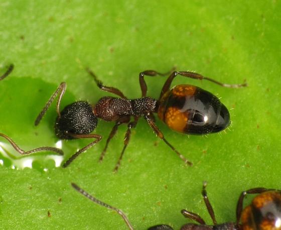 Dolichoderus plagiatus - female