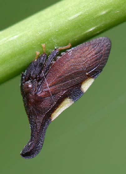Treehopper - Enchenopa binotata