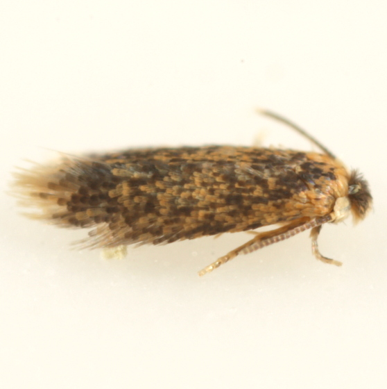 Stigmella ex Quercus montana - Stigmella saginella