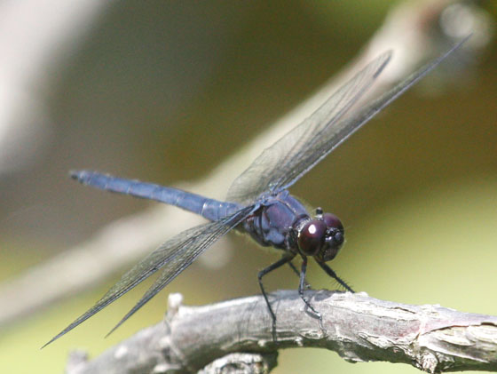 Dragonfly #7 at Davidson's Mill Pond NJ - Libellula incesta