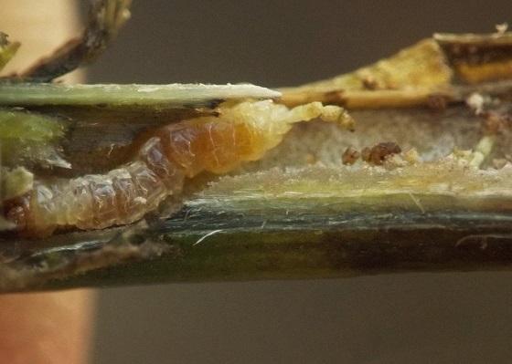 Stem boring beetle, sky blue aster - Dectes texanus