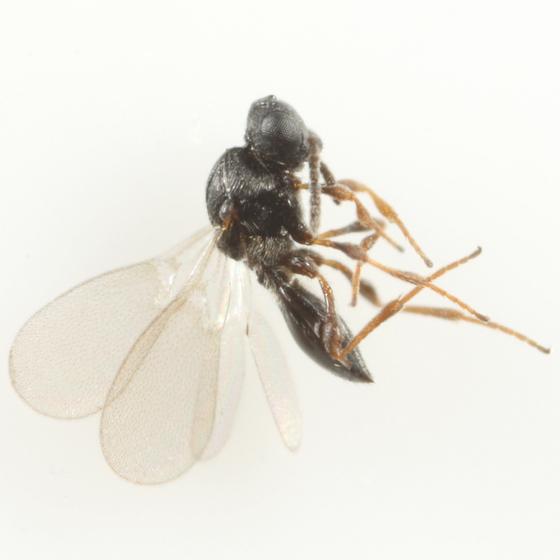 Platygaster vaccinii - female