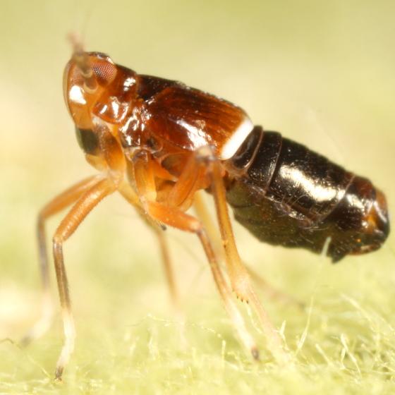 Planthopper nymph - Pissonotus delicatus - male