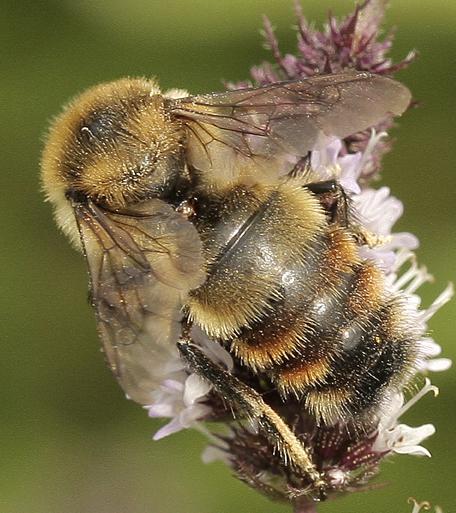 Bombus Species? - Bombus rufocinctus
