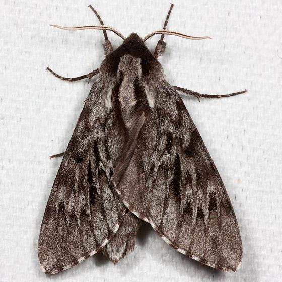 Northern Pine Sphinx - Hodges#7817 - Lapara bombycoides