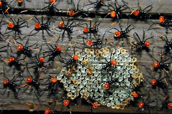 Ants? Spiders? something else? - Arilus cristatus
