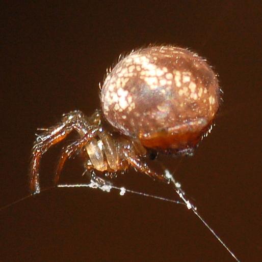 Ray spider - Theridiosoma gemmosum - female