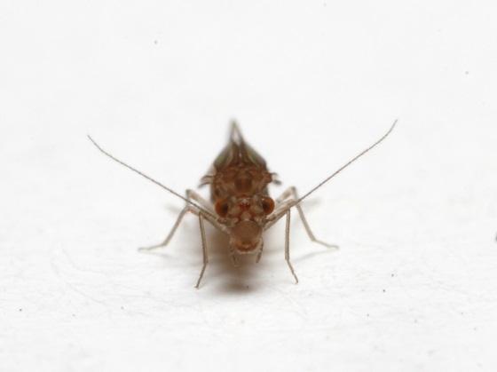 Lachesilla penta - female