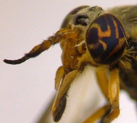 Deer Fly - Chrysops montanus - female