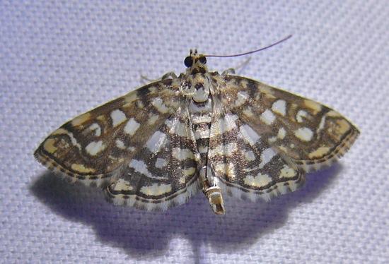 Bog Lygropia - Lygropia rivulalis