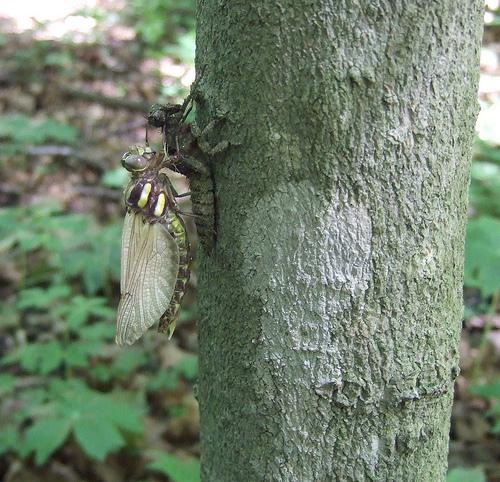 emerging Arrowhead Spiketail - Cordulegaster obliqua - female