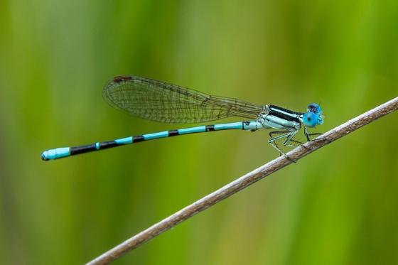 Some type of Bluet? - Argia bipunctulata - male