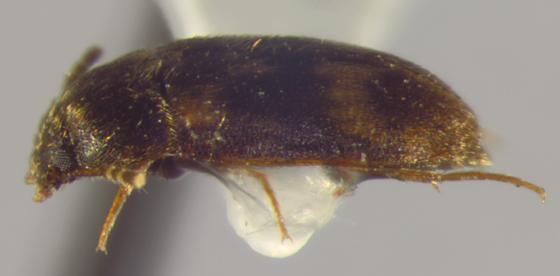 Mycetophagidae, lateral - Litargus balteatus