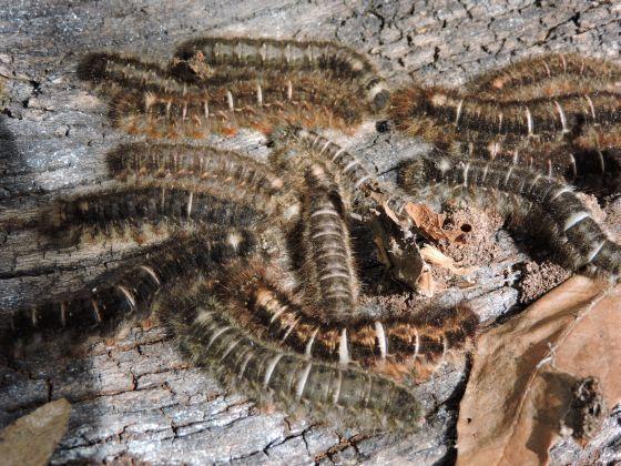 Dicogaster coronada