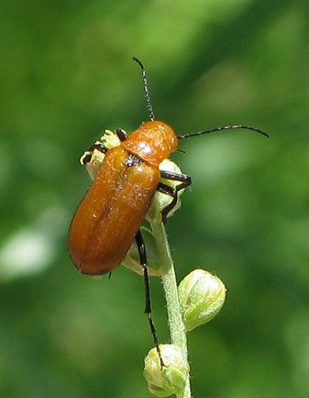 Orange Beetle - Nemognatha