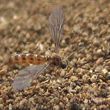 Los Angeles wormlion - Vermileo opacus