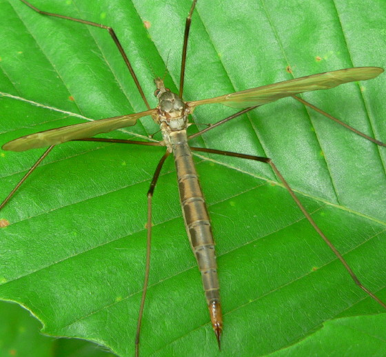 ? Tipula colei or Tipula oleracea ?