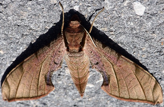 Protambulyx strigilis strigilis - Protambulyx strigilis