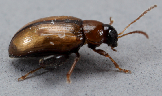 Utah-Coleo - Psylliodes affinis