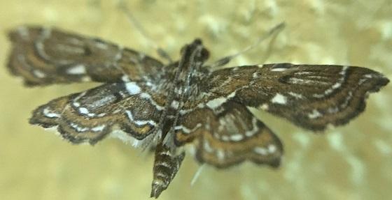 Undulambia polystichalis