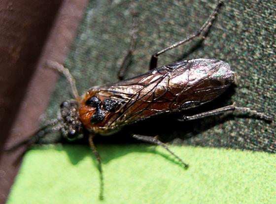 Tenthrediniidae? - Dolerus