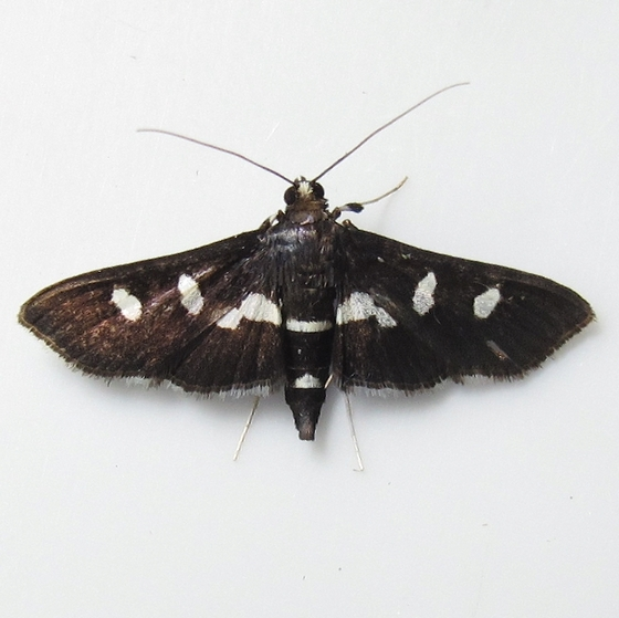 Hodges #5160 - Grape Leafroller Moth - Desmia maculalis - female