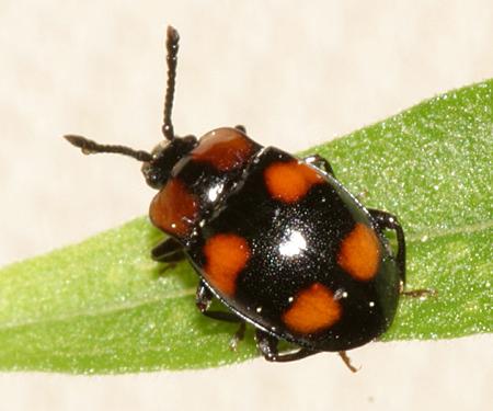 Handsome Fungus Beetle - Mycetina perpulchra