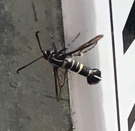 Synanthedon bibionipennis - Strawberry Crown Moth - Hodges#2576?
