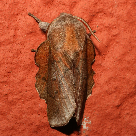 Unknown - Phyllodesma americana