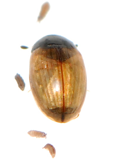 unknown beetle - Cercyon quisquilius