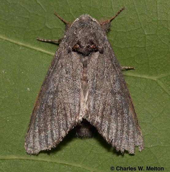 Moth - Heterocampa ruficornis