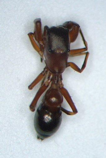 KY spider 07 - Peckhamia picata - male