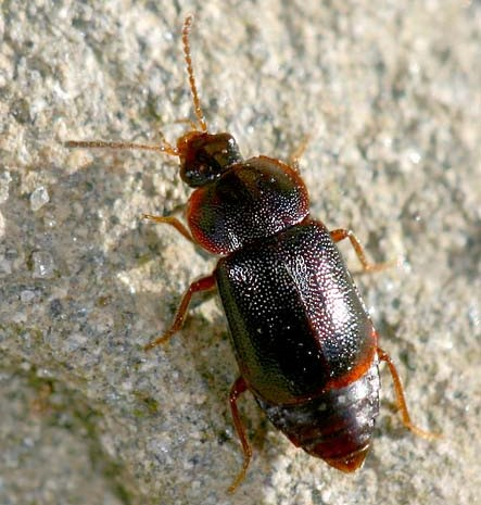 Ocellate Rove Beetle - Olophrum obtectum