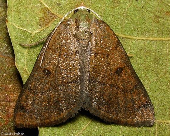 Chloraspilates minima - Hodges #6701 - Chloraspilates minima - female