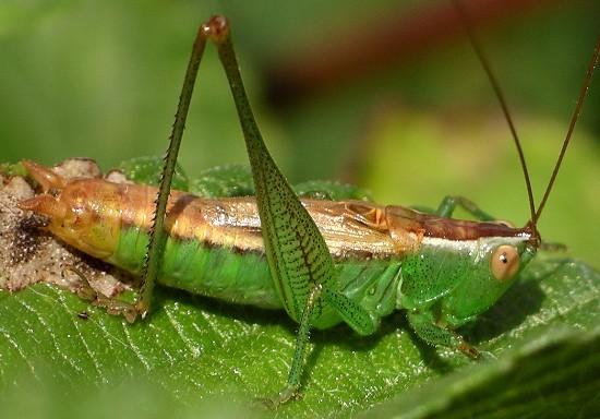 Brownsville Meadow Katydid - Conocephalus resacensis - male