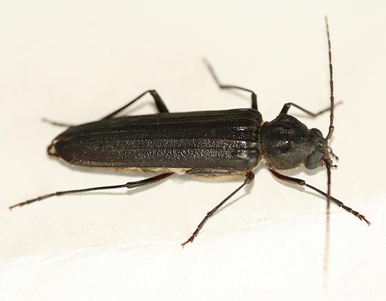 a black Beetle - Arhopalus productus