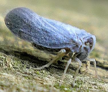 blue planthopper - Cedusa