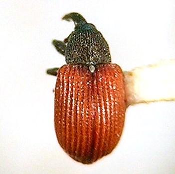 Curculioninae, Anthonomus haematopus - Anthonomus haematopus