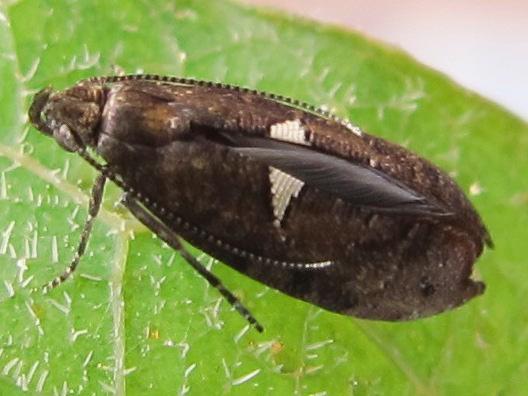 moth - Acrolepiopsis heppneri
