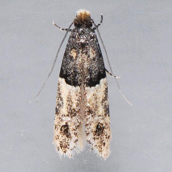 Moth for Identification   - Oenoe hybromella